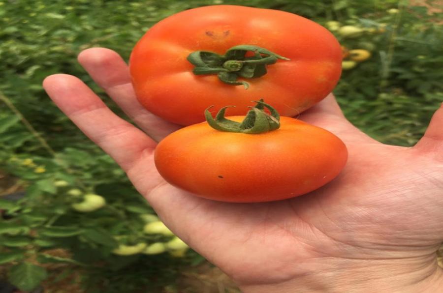 جامعة كركوك تدعم الإنتاج الزراعي في المحافظة...  كلية الزراعة تجهز الأسواق المحلية بمحصولي الطماطم والفلفل الأخضر